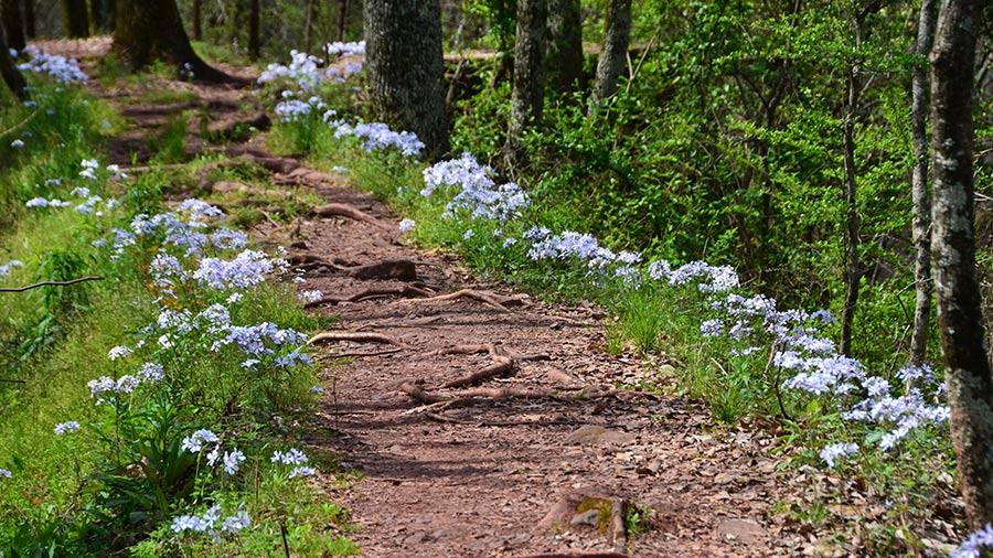 Trail of Woodland Phlox in Birmingham, Alabama.