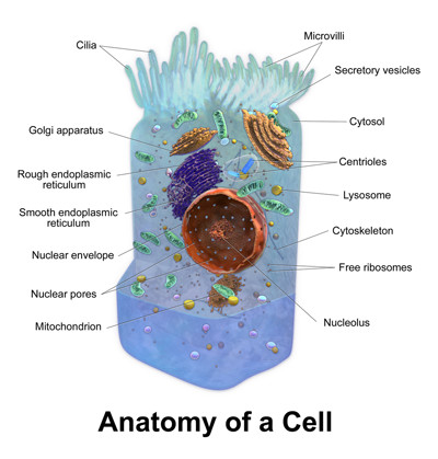 Anatomy of a Cell - 400