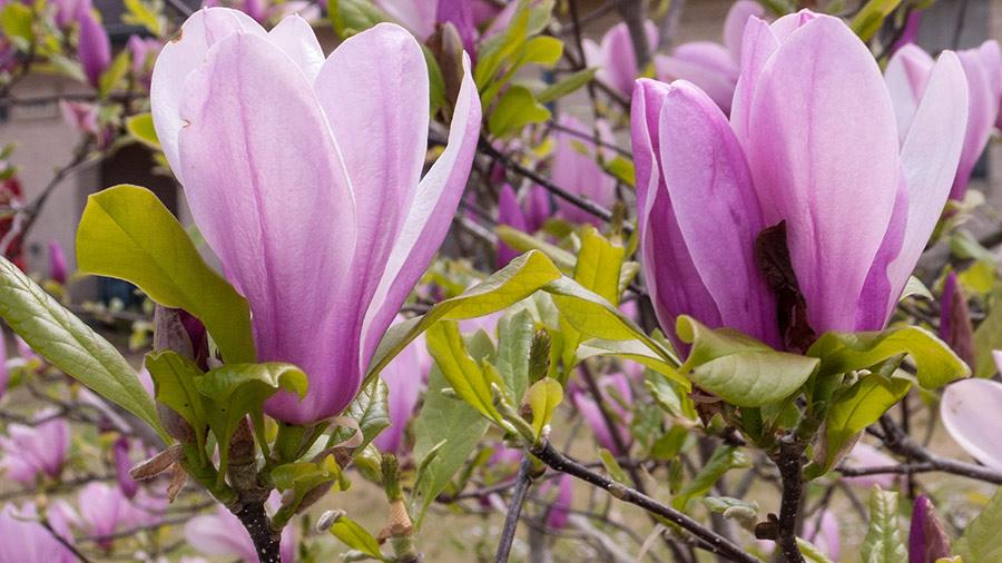 Pink Magnolias in Batesville, Arkansas.