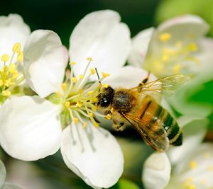 Bee on an Apple Blossom - 400