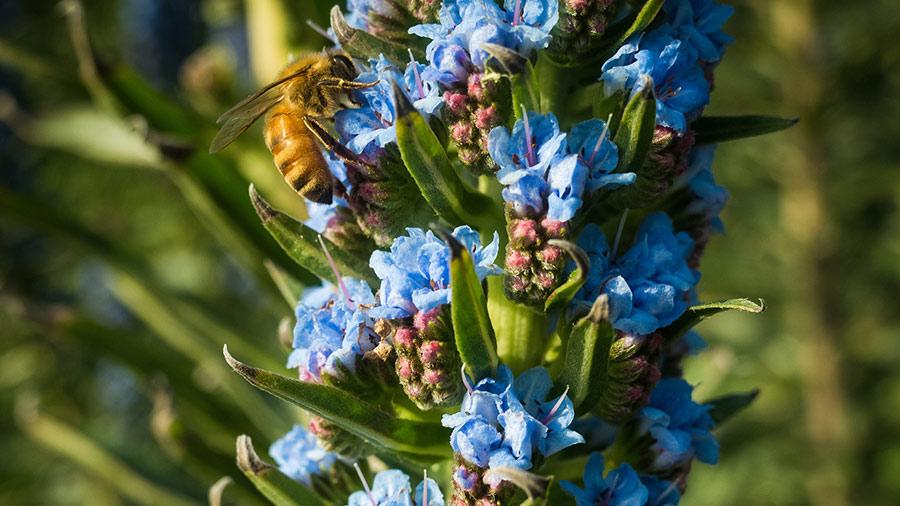 Bee on blue flowers in Aptos, California