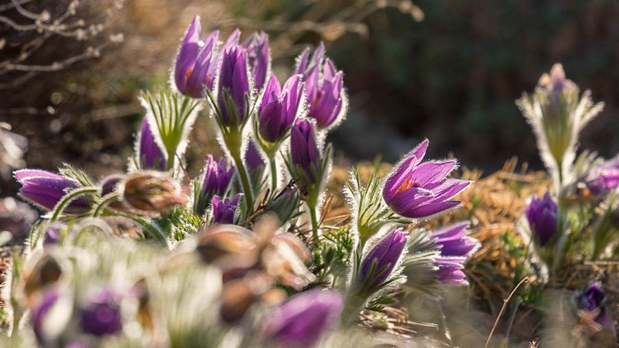 Basque Flowers for Easter at Denver Botanic Gardens in Colorado.