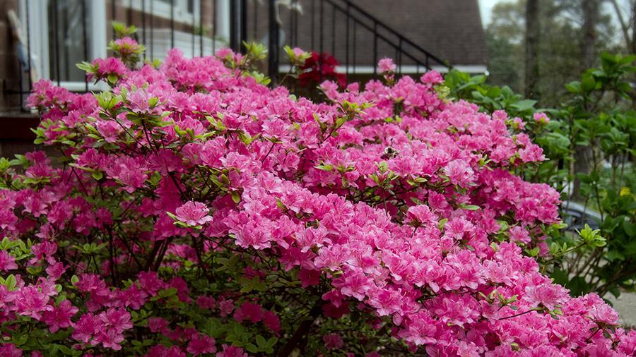 Azaleas in Atlanta, Georgia.