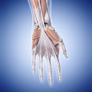 Hand Muscles - 300