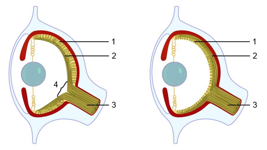 Human v Octopus Eye - 900