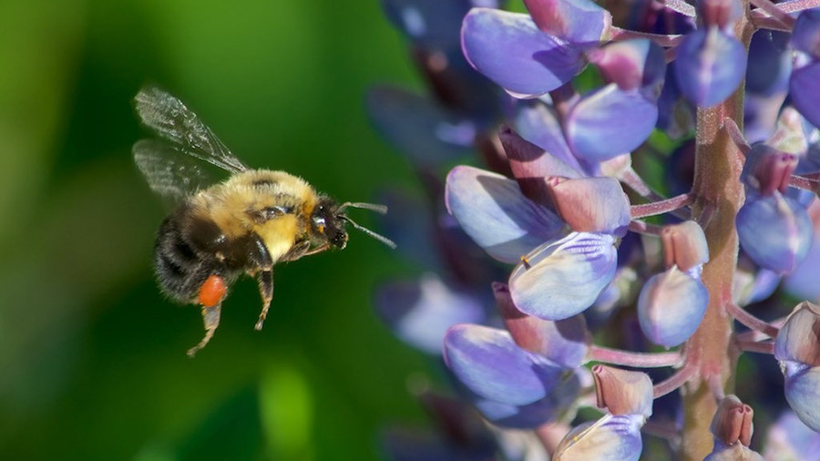 Bumblebee at a lupine flower in Cheshire, New Hampshire.