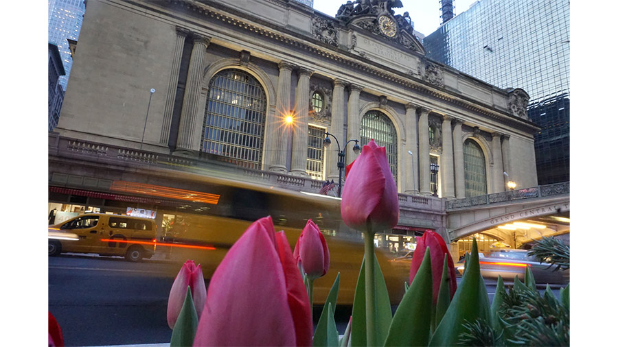 Spring tulips outside of Grand Central Terminal in New York City.