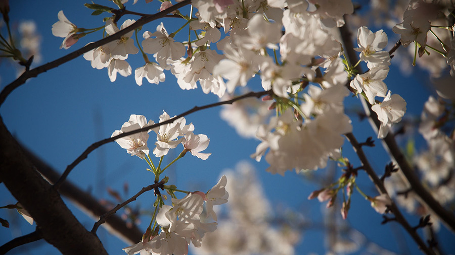 White Cherry Blossoms in Raleigh, North Carolina.