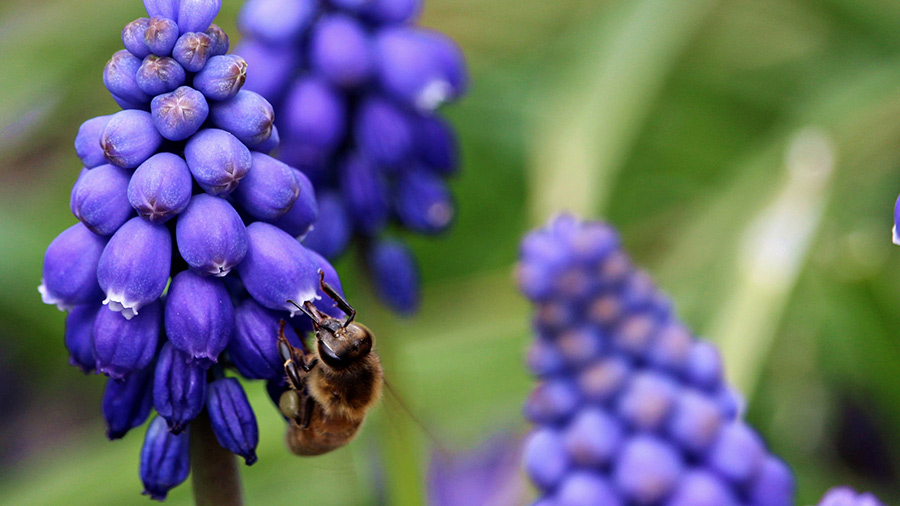 Bee on a grape hyacinth flower at the Bar One Ranch in Oregon.