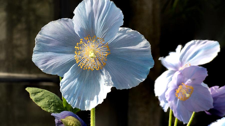 Blue Poppies at the Longwood Gardens in East Marlborough, Pennsylvania.