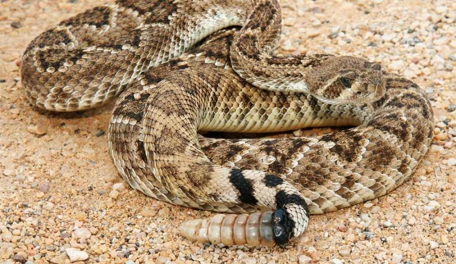 Baby Rattlesnakes | The Stream
