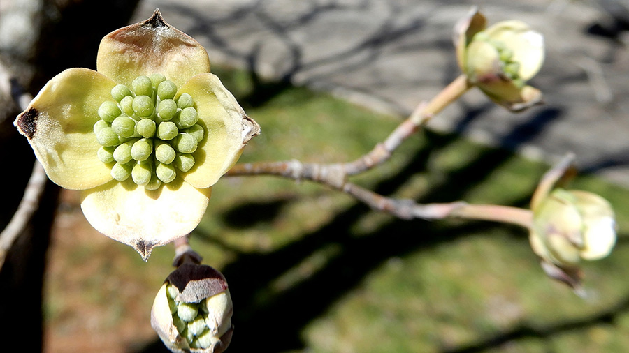 Buds beginning to open on a Dogwood Tree in South Carolina.