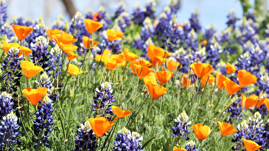 Texas Bluebonnets mixed with California Poppies at Civic League Park in San Angelo, Texas.