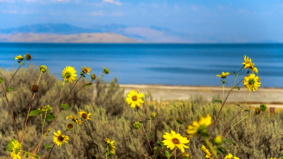 Yellow Wildflowers look over the water at the Antelope Island State Park in Davis, Utah.