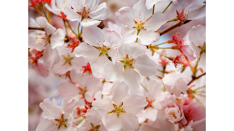 Close up of Cherry Blossoms in Glen Allen, Virginia.