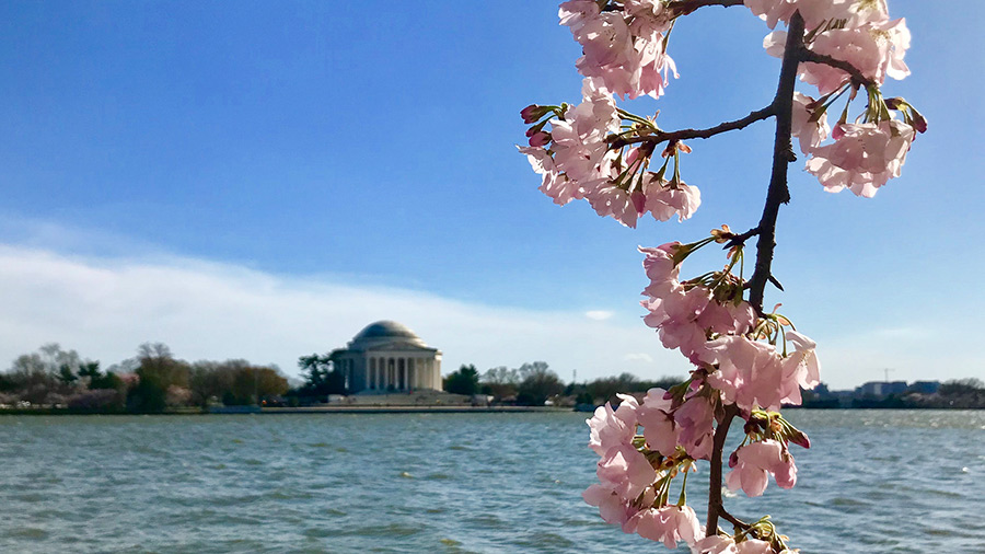 Cherry Blossoms in our Nation's Capital, Washington DC.